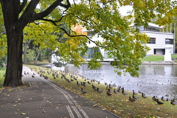 a lot of ducks in the park