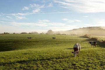 Poster de jardin Vache Campagne au petit matin en Franche Comté avec vache