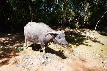 Buffalo in asia