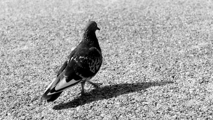BLACK AND WHITE PIGEON ON THE PAVEMENT