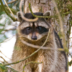 A cute close-up view of a raccoon sitting on the tree.