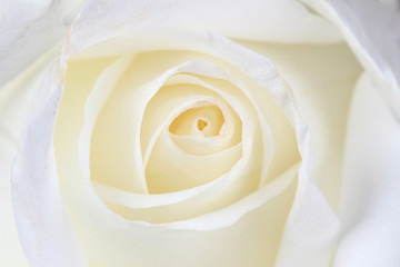 Beautiful white  rose close up