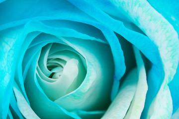 Photo sur Aluminium Macro photographie Beautiful rose close up