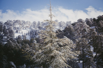 snow pine in the troodos mountain