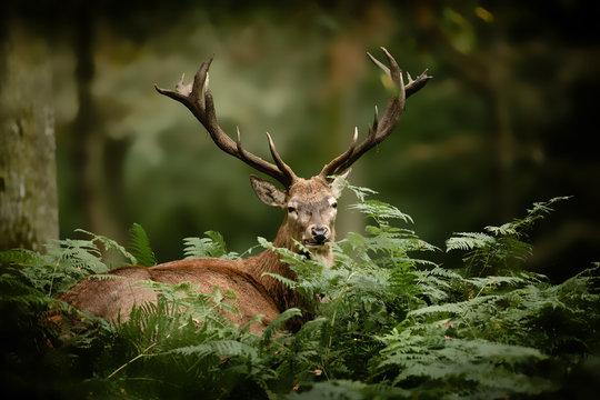 cerf brame chasse bois mammifère roi forêt cervidé fougère s