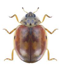 Beetle Ladybird Harmonia quadripunctata