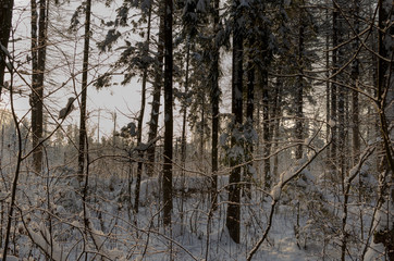 Photo of the winter forest. Trees covered with snow.