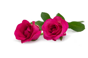 Two pink rose lying down on a white background