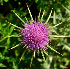 Flower head of milk thistle, silybum marianum