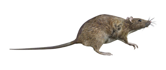 Brown Rat on White