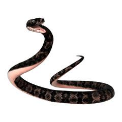 Cottonmouth Snake on White