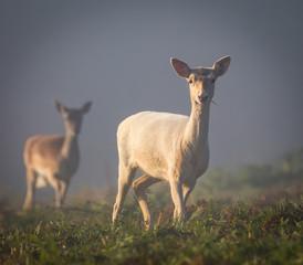 Pair of Fallow Deer in bracken on a misty morning (Dama dama)