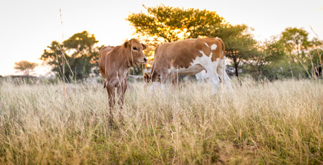 Cow Calf Grazing