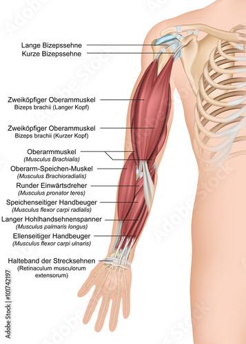 Anatomie des menschlichen Arms, Vorderansicht komplett\