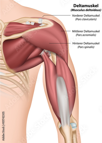 Anatomie Schulter, Ansicht von hinten\