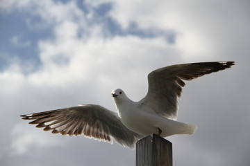 Seagull spreading its wings to take off