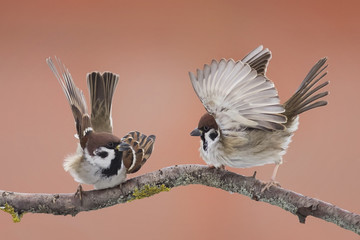 two Sparrow with wings sitting on a branch