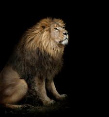sitting lion on black background