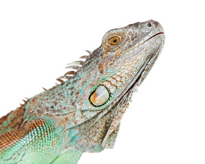 Closeup of Face of Iguana