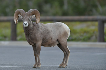 Bighorn Sheep (Ovis canadensis) stands in a parking lot near Logan's Pass in Glacier National Park, Montana
