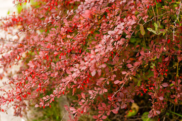 Fruits and leaves of the ornamental japanese barberry (Berberis thunbergii).