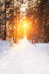 Beautiful sunset sunrise in sunny winter snowy coniferous forest