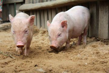 Zwei Schweinchen