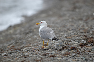 herring gull on the beach