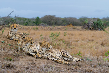 Cheetah fanily resting on a termite mount
