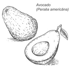 Avocado sketch. Vector illustration in in woodcut style.Hand-dra