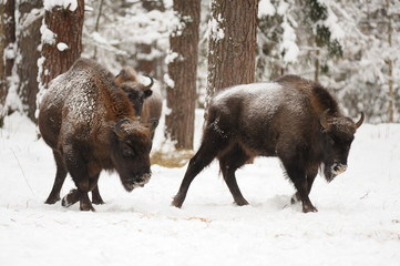 Pair of mature European bisons in winter in Orlovskoye Polesie N