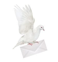 pure white dove carrying envelope