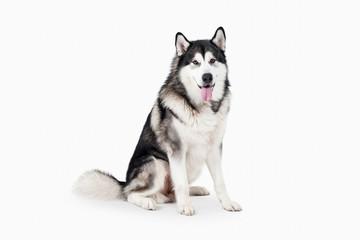 Dog. Alaskan Malamute on white background