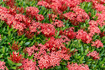 Pattern Of Ixora Chinensis(Chinese ixora) Lamk Flower