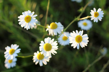 soft background chamomile/delicate daisy petals shine in the sun