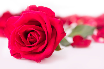Red rose and rose petals, isolate background, Valentine's concept.