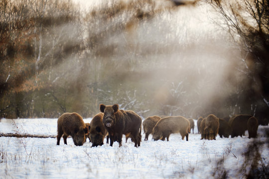 Wild boars on winter forest