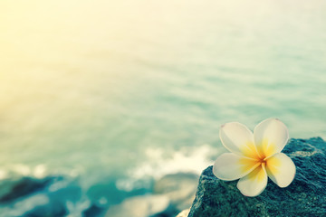 White frangipani on the rock at the beach