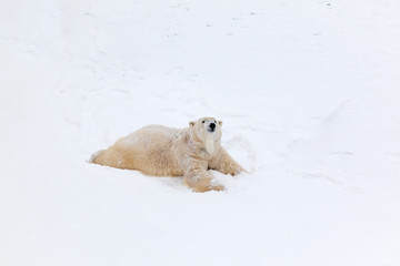 Polar bear on snow