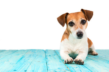attractive cute dog with sharp look is lying on a wooden floor blue. White background.