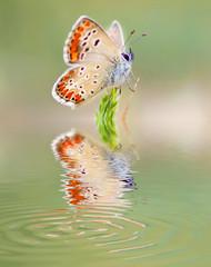 mariposa mirandose en el espejo del agua