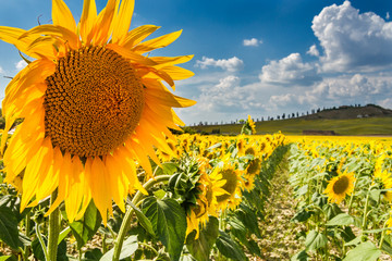 Sunflower tuscany, val d'orcia