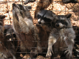 Cute excited raccoons behind grating eating with paws and nose out