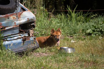 Happy Dog next to Old Car