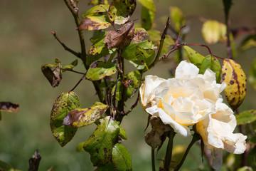 Sunburnt White Roses