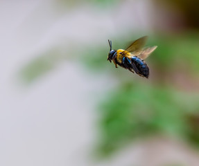 A Honey Bee in Flight.