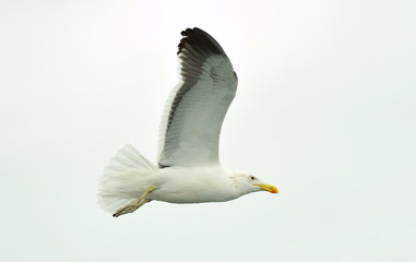 Flying adult Kelp gull (Larus dominicanus), also known as the Dominican gull and Black Backed. Isolated on white background
