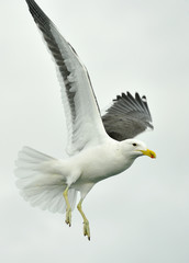 Flying  Kelp gull (Larus dominicanus) also known as the Dominican gull and Black Backed Kelp Gull. White Background