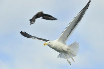 Flying adult Kelp gull (Larus dominicanus), also known as the Do