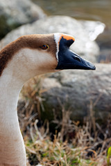 The swan goose portrait and single anser cygnoides